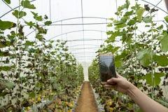 年轻农夫观察在手机归档的一些照片瓜,Eco有机现代聪明的农场4 0个技术概念, 免版税库存图片