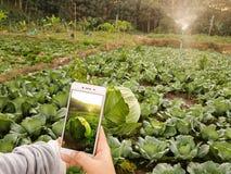 年轻农夫观察在手机归档的有些图菜,Eco有机现代聪明的农场4 0个技术概念,Agronomi 免版税库存图片