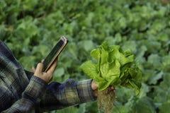 年轻农夫采取照片在手机归档的某一成长菜,水耕的eco有机现代聪明的农场4 0技术conce 库存图片
