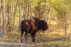 年轻北美野牛在森林里 库存图片