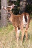 年轻哥伦比亚人黑盯梢了鹿大型装配架,空齿鹿属hemionus columbianus,在早晨光的东部点,海湾海岛 图库摄影