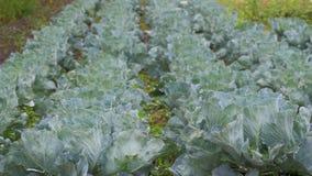 年轻圆白菜在农夫领域增长 股票视频