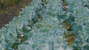 年轻圆白菜在农夫领域增长 股票录像
