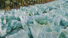 年轻圆白菜在农夫领域增长 影视素材