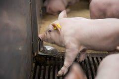 年轻在猪饲养农场的小猪饮用水 免版税库存图片