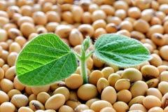 年轻大豆植物,发芽从大豆种子 免版税库存照片