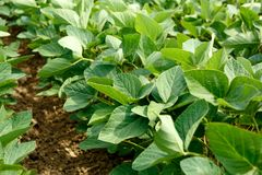 年轻大豆领域行在夏天 免版税库存图片