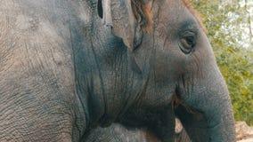 年轻大象吃草 股票视频