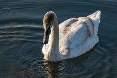 年轻天鹅天鹅座olor 在湖的罕见的危险的天鹅在Goryachiy Klyuch 库存图片