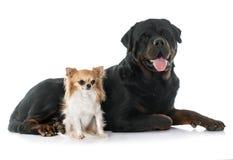年轻奇瓦瓦狗和rottweiler 免版税库存照片