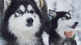 年轻女人冲程与不同颜色眼睛的两个美丽的西伯利亚蓬松爱斯基摩在雪森林背景 狗 影视素材