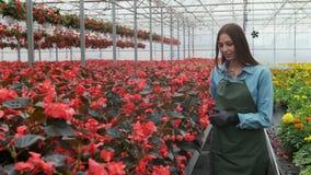 年轻女人在有花的温室检查一个罐在架子的红色一品红 股票视频