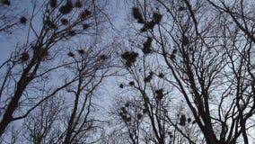年轻女人筑巢高在树,唱歌和飞行,由她的电话-白嘴鸦巢的白嘴鸦鸟类学家照相- 股票录像