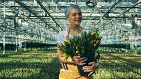 年轻女人自温室在手上工作,拿着黄色郁金香 影视素材