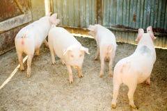年轻小猪牧群在干草和秸杆的在猪繁殖的农场 农业和牲畜生产 免版税库存照片