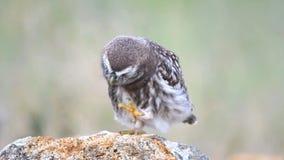 年轻小猫头鹰雅典娜小猫头鹰在石头站立并且抓了 股票录像