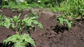 年轻开花的蕃茄灌木在庭院里增长 影视素材