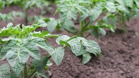 年轻开花的蕃茄灌木在庭院里增长 股票视频