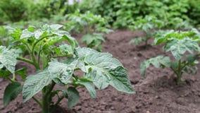 年轻开花的蕃茄灌木在庭院里增长 股票录像