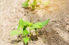 年轻扁豆灌木与种子的在领域的土壤增长 新鲜蔬菜,有机食品 豆类家庭  年轻嘘 免版税库存图片