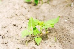 年轻扁豆灌木与种子的在领域的土壤增长 新鲜蔬菜,有机食品 豆类家庭  年轻嘘 库存图片