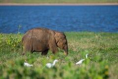 年轻斯里兰卡的大象,亚洲象属maximus maximus在典型的栖所走 它吃着草,在背景中是 免版税库存照片