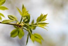 年轻新春天绿色分支在春天的 免版税库存图片