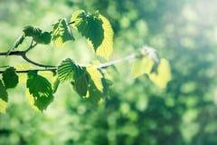 年轻春天叶子由光束点燃了-晒黑光芒 免版税图库摄影
