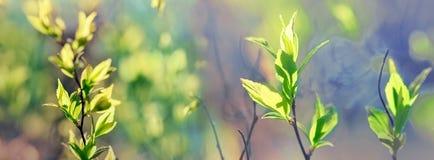 年轻春天在春天离开,森林-美好的自然 免版税库存图片