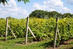年轻未成熟的葡萄 库存图片