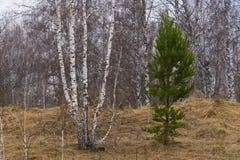 年轻杉木和桦树在早期的春天 库存照片