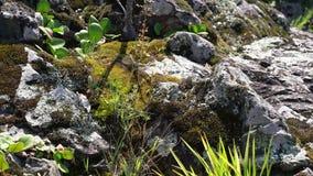 年轻杉木增长在石头之间 股票录像