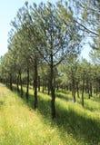 年轻杉木森林种植园 自然的夏天放松 图库摄影
