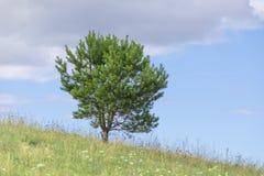 年轻杉树土地天空horizont 图库摄影