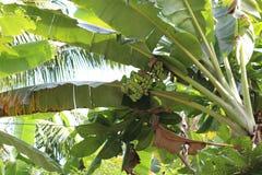 年轻束香蕉 库存图片