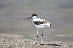年轻染色长嘴上弯的长脚鸟Recurvirostra avosetta 库存照片