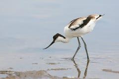 年轻染色长嘴上弯的长脚鸟Recurvirostra avosetta 免版税库存照片