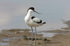 年轻染色长嘴上弯的长脚鸟Recurvirostra avosetta 免版税图库摄影