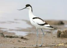 年轻染色长嘴上弯的长脚鸟Recurvirostra avosetta 库存图片