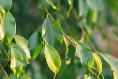 年轻树枝新绿色留下植物的叶子背景 金黄阳光火光在黎明 唤醒春天的复活节自然 库存照片