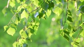 年轻桦树在背后照明的春天离开 股票录像