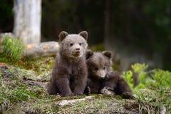 年轻棕熊在森林里 库存图片