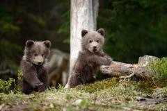年轻棕熊在森林里 免版税库存照片