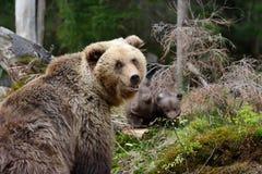 年轻棕熊在森林里 库存照片
