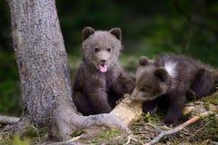 年轻棕熊在森林里 免版税图库摄影