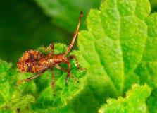 年轻棕色臭虫栗色边缘Coreus marginatus坐一片绿色叶子 图库摄影