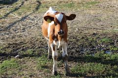 年轻母牛身分在牧场地和看照相机 免版税库存照片