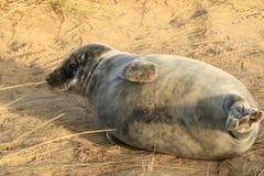 年轻灰色小海豹平衡 库存照片