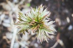 年轻牡丹植物在庭院里 库存图片