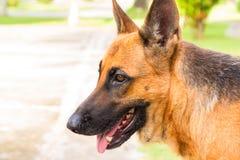 年轻牧羊犬照片 在步行的幼小德国狗在公园 免版税库存照片